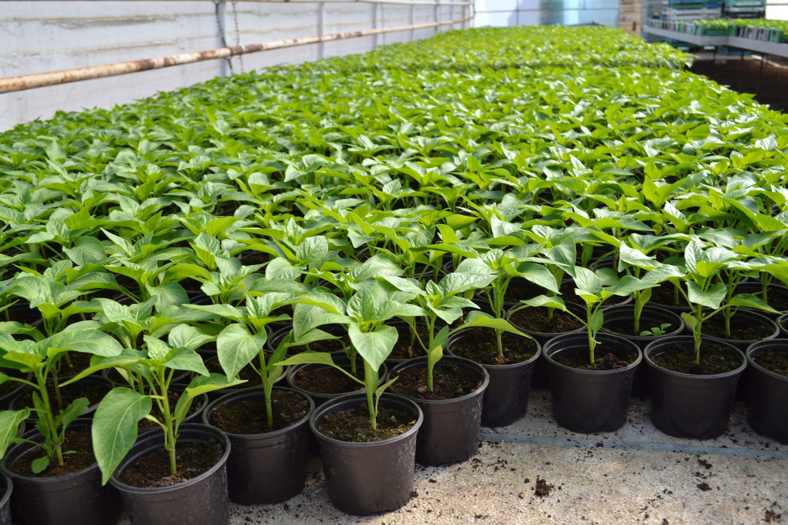 Na OPG-u Jurić godišnje proizvedu oko milijun presadnica povrća i začinskog bilja - Tukan Greens
