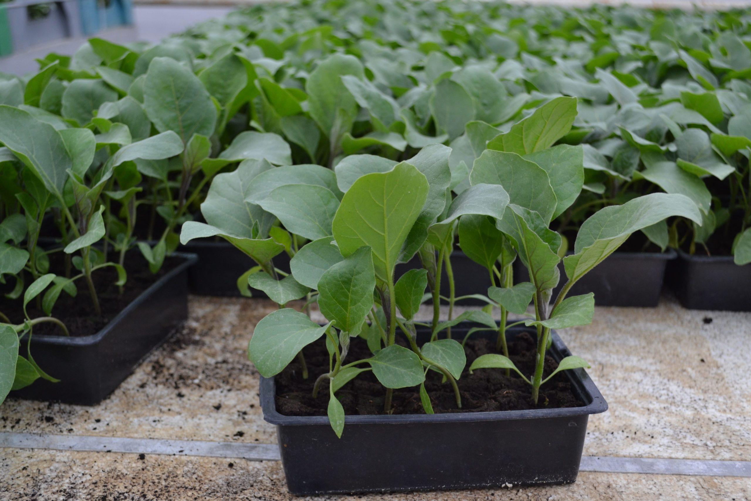 Na OPG-u Jurić godišnje proizvedu oko milijun presadnica povrća i začinskog bilja - OPG Anto Jurić