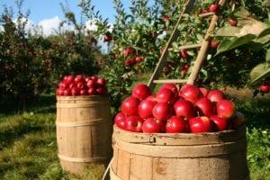 Povratak selu i vrtlarstvu - jabuke